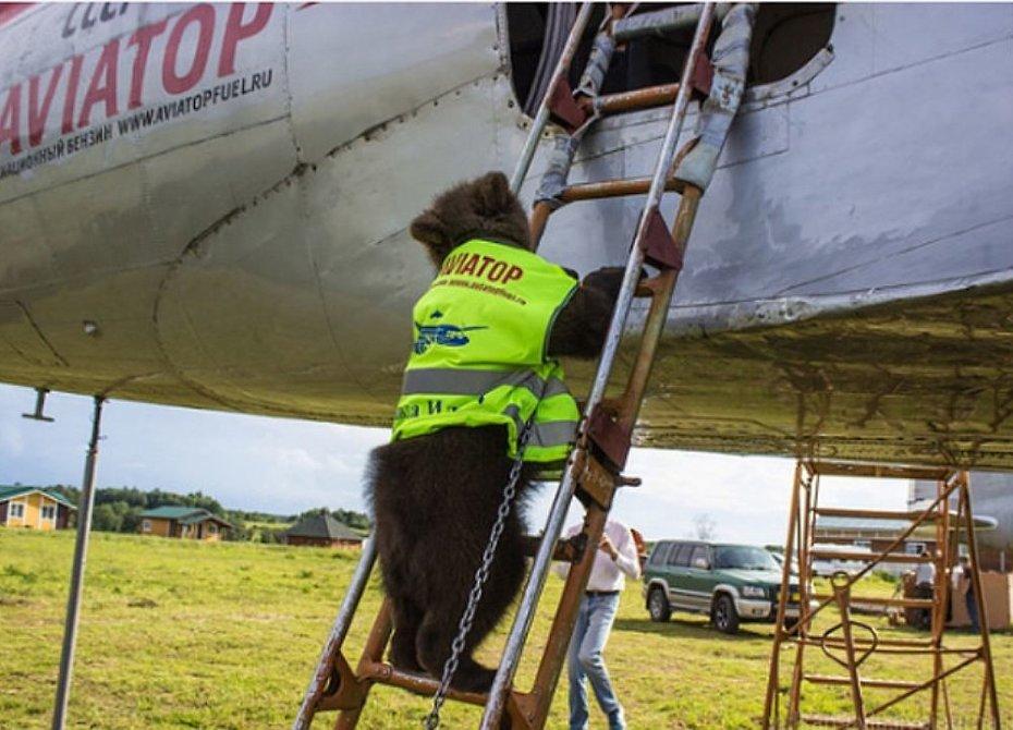 На аэродроме под Тулой живет медвежонок-пилот